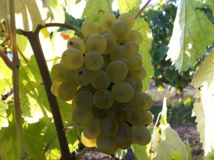 Grappolo uva falanghina